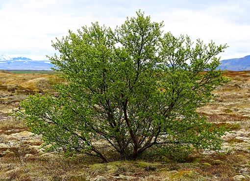Birkikjarr við árgil
